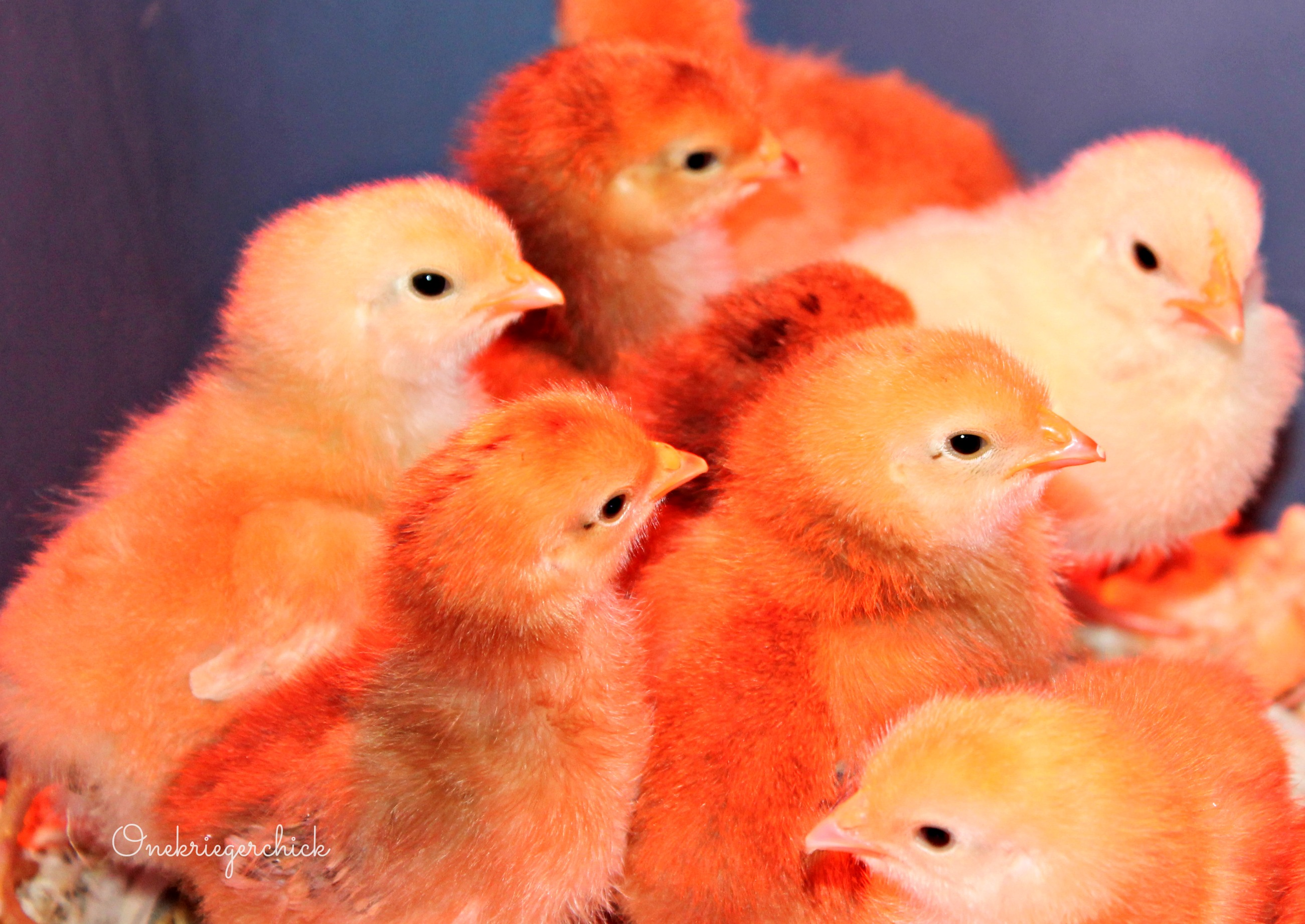 Orange chicks