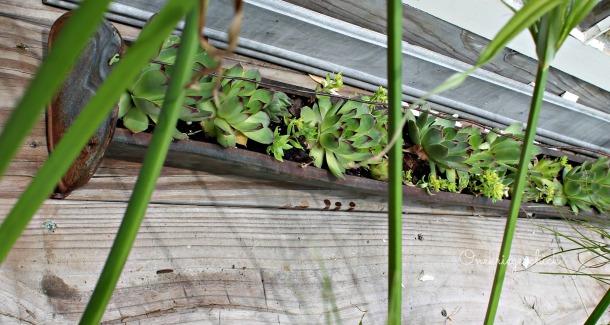 Chicken feeder with succulents {Onekriegerchick.com}